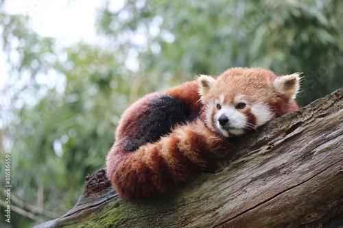 In de dag Panda Panda Roux