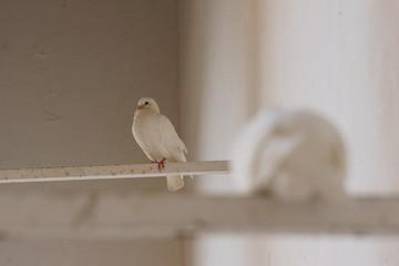 Zwei weiße Tauben