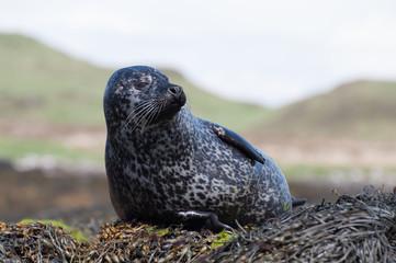 Foca nelle isole ebridi