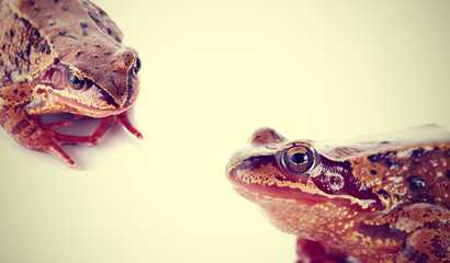 Portrait of two brown ordinary frogs.