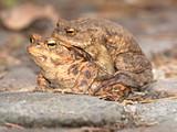 zwei Erdkröten