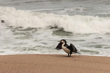 pied cormorant resting on sandy beach