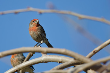 Male House Finch Perched on a Branch in a Tree