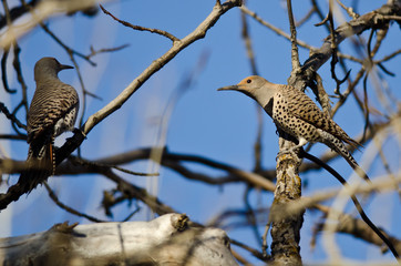 Two Northern Flickers Perched on a Branch in a Tree