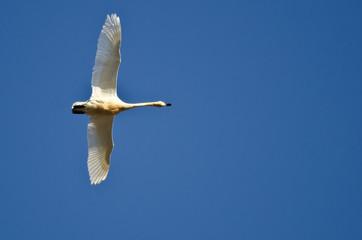 Lone Tundra Swan Flying in a Blue Sky