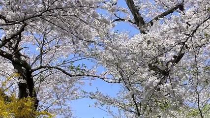 舞い散る桜