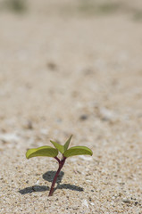 砂浜に生える植物