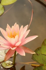 A beautiful lotus plant in the water