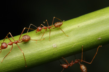 Ants walk on twigs in the garden of Thailand.