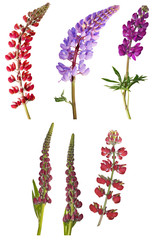 set of six lupine flowers on white