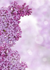 lilac flowers on blured light background