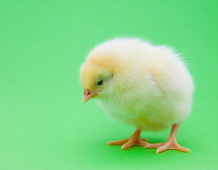 Little chick on green  background