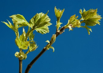 buds of green leaves at spring