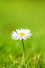 Fine grown daisy flower on green meadow