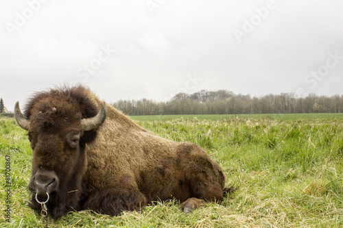 Deurstickers Bison Bisons