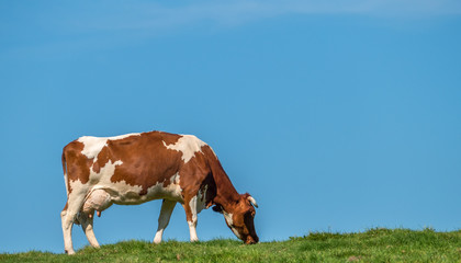 Grass Fed Cow