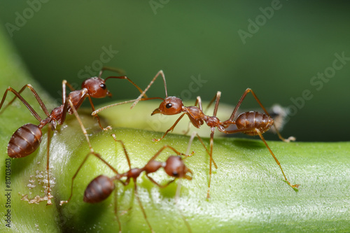 Foto op Canvas Dragen Ants walk on twigs in the garden of Thailand.