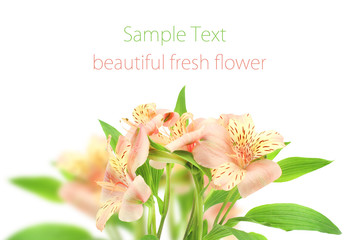 Lily Pink  beautiful fresh flower