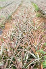 champ d'ananas Victoria, île de la Réunion