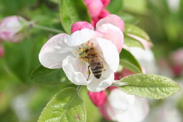 ape raccoglie il nettare su fiori di melo