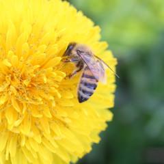 ape raccoglie il nettare su fiore di tarassaco