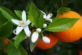 Fototapety Valencian orange and orange blossoms