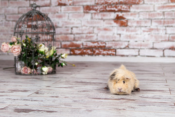 guinea pig sitting on the floor