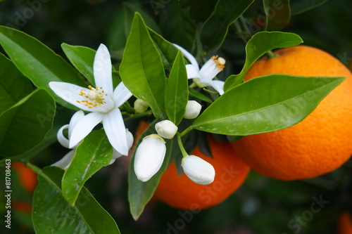In de dag Planten Valencian orange and orange blossoms