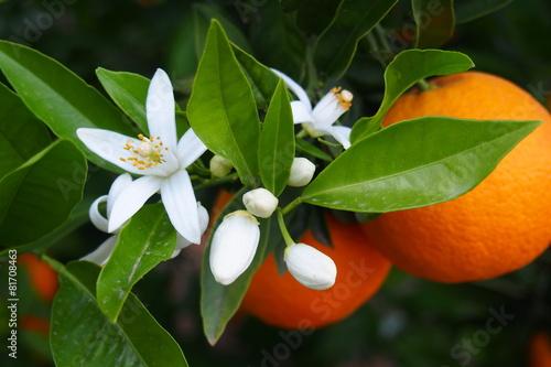 Valencian orange and orange blossoms - 81708463