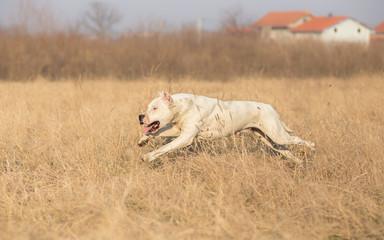 Running Dogo Argentino - Argentinian dog