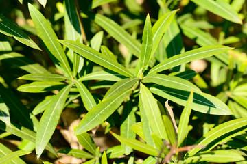 nerium oleander leaves