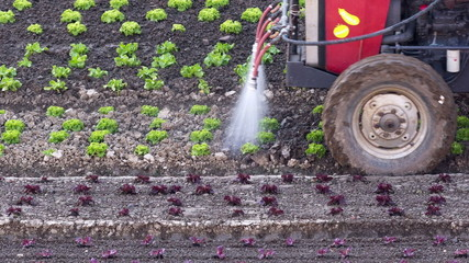 Tractor slowly irrigating freshly planted salad seedlings.