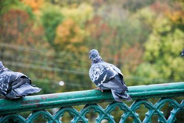 голуби на мосту