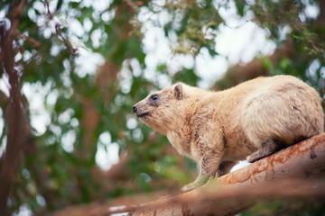 Rock hyrax on the tree
