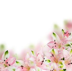 Alstroemeria background