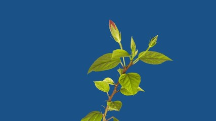 Red hibiscus blossoms on a blue background - timelapse
