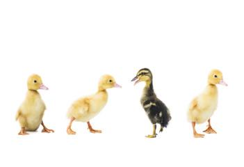 Individuality black duckling among yellow ones