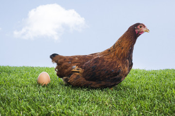 Brown hen laying down egg