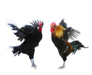 Rooster fighting