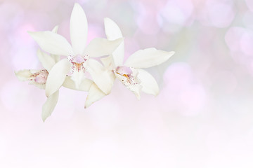 White orchid isolated on gray