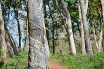 gumtree in tropical forest harvesting natural rubber