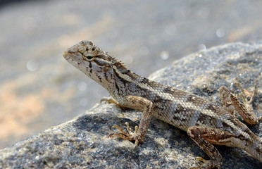 little lizard on the rock in nature detail photo