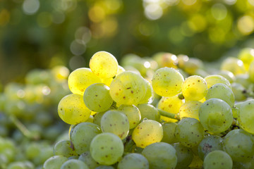 White Grapes in Backlit
