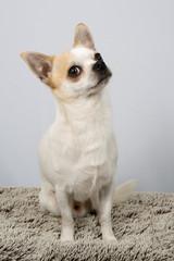 Closeup portrait of white  Chihuahua