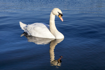 Swan on the Round Pond in Kensington Gardens