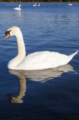 Swans on the Round Pond in Kensington Gardens