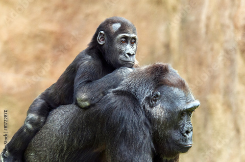 Keuken foto achterwand Aap Young gorilla and its mother