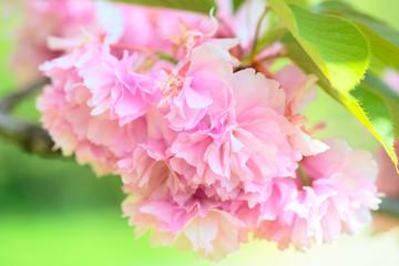 kanzam prunus flowers