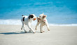 canvas print picture - Spielende Hunde am Strand