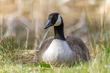 Canada Goose sat on her nest.